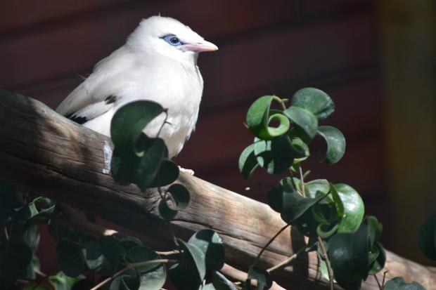 Jardim Zoológico anuncia nascimento de uma ave de canto quase extinta